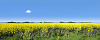 Oilseed rape creates stunning colours of yellow and blue in an East Yorkshire field.